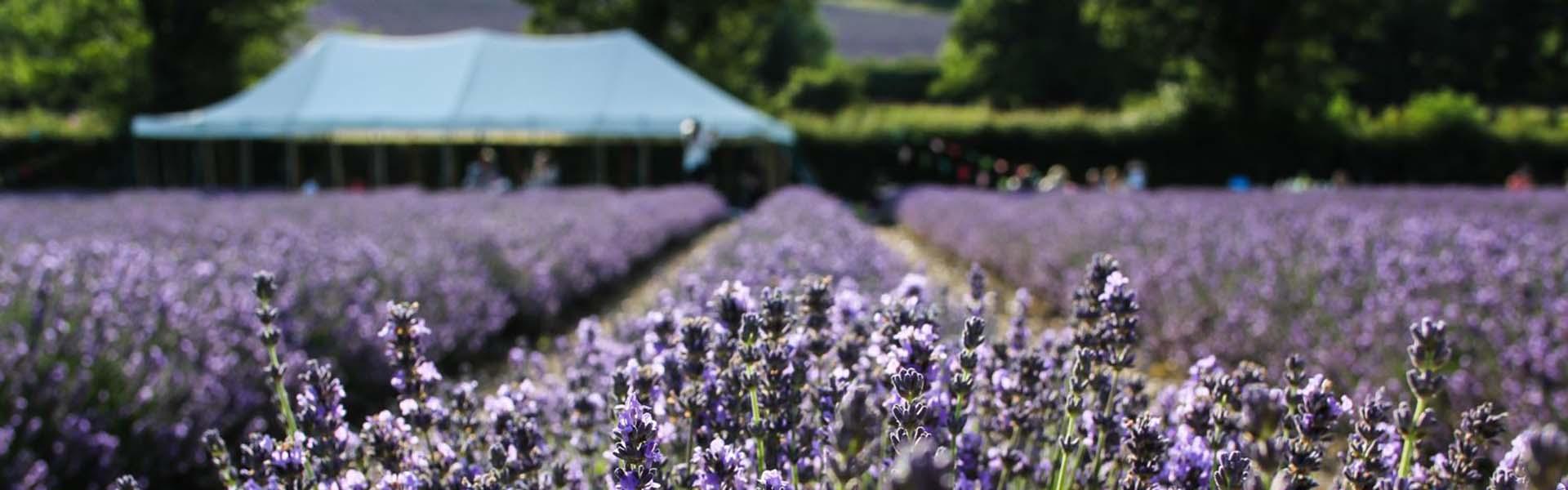 Lavender Fields Castle Farm