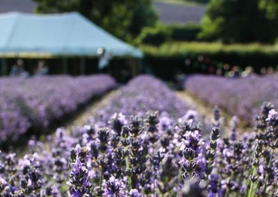 From Hops to Lavender – a walk