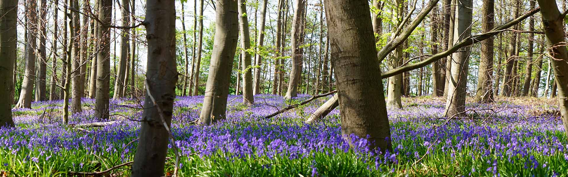 Bluebell Wood at Toys Hill