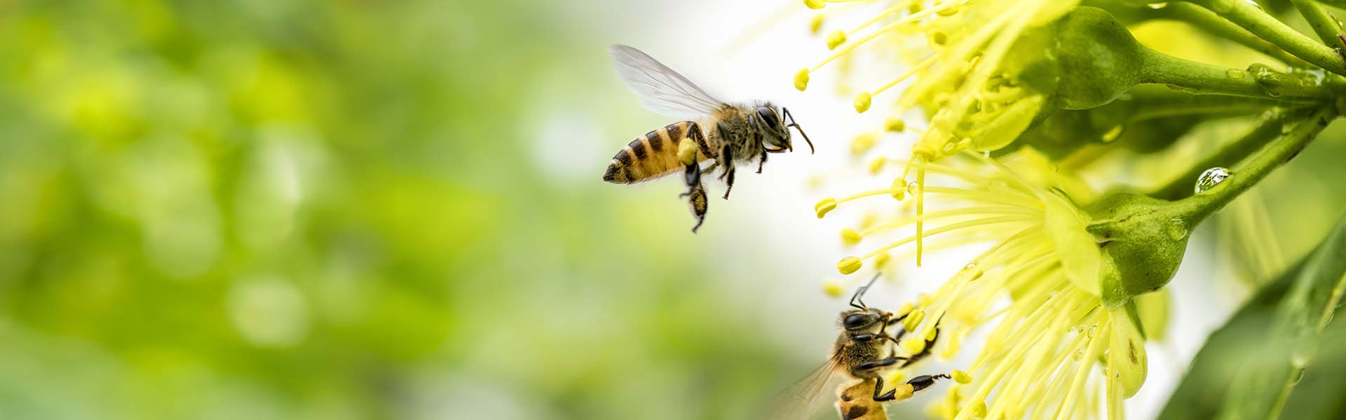 Flying honey bee collecting pollen at yellow flower