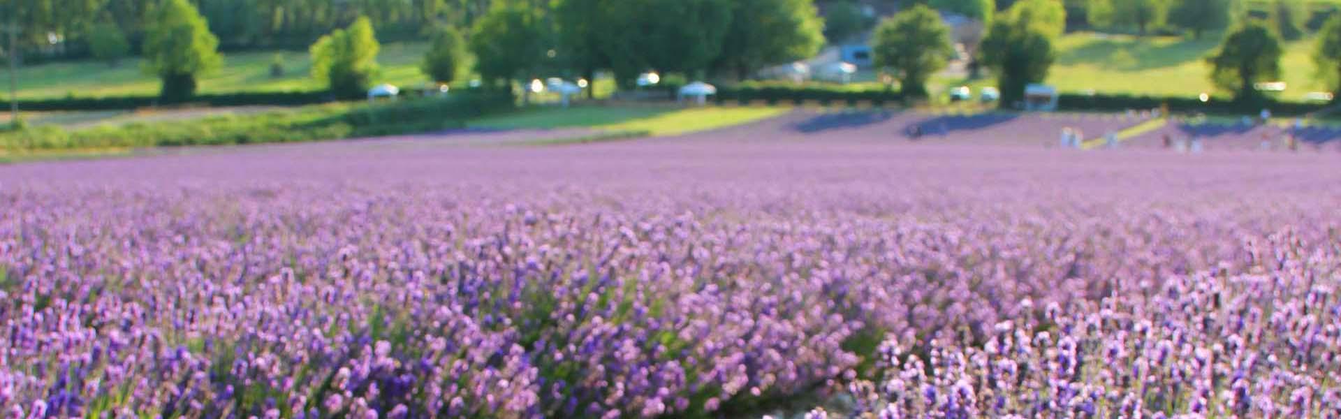 View of Lavender fields at Castle Farm near Shoreham village